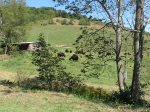 A view of the pastures with black angus cows at Eco Valley Farm