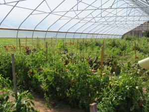 High tunnel tomatoes at Canticle Farm
