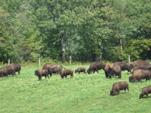 Bison grazing at Maple Ridge Bison Ranch in Ischua, NY