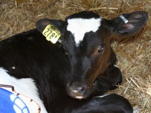 Calf at Teelak Farms on October 1, 2013