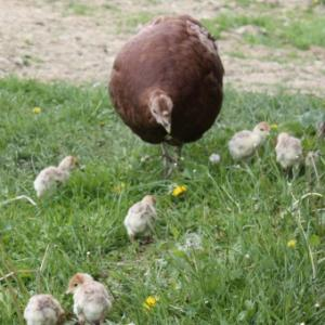 Momma turkey with baby turkeys (chicks)
