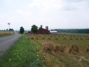 Oat field along the Amish Trail