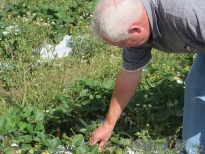 Norman Marsh, Catt.Co. Chairman, checking out the strawberries