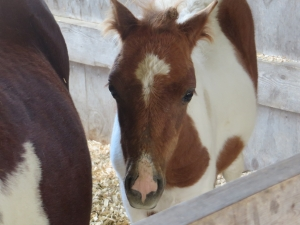 Horse and foal at the animal petting area of Pumpkinville
