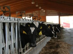 Cows at Teelak Farms on Oct. 1, 2013