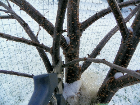 Winter pruning; Photo: Colleen Cavagna