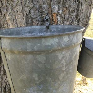 Sap Buckets in Great Valley, NY