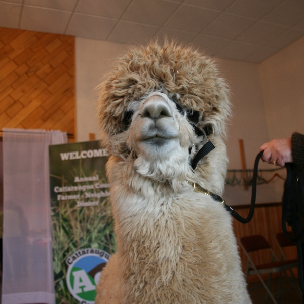 Tony the alpaca's face from Mager Mountains