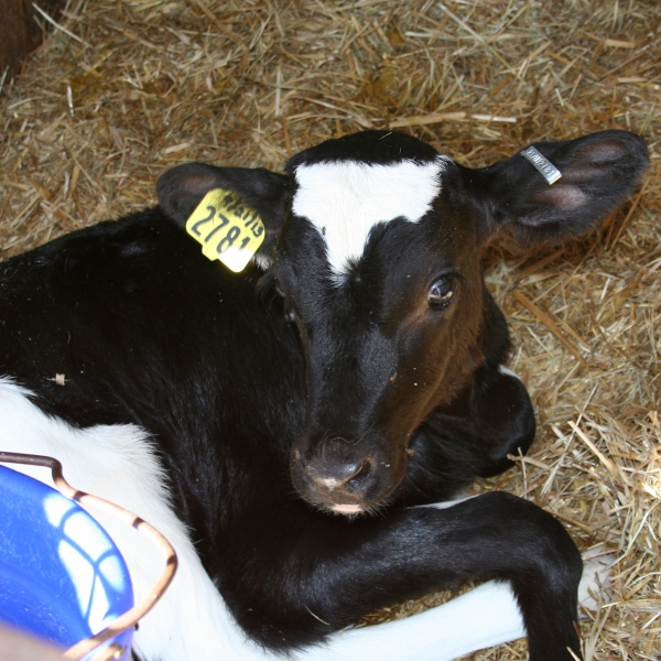 Calf at Teelak Farms on October 1, 2013