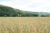 Field of Oats