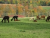 Alpacas in the fall